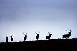 Red deer stags, Leicestershire, England, UK.
