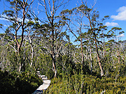 A boardwalk of the Overland Track cuts through Du Cane Gap in Cradle Mountain-Lake St Clair National Park, Tasmania, Australia. The Tasmanian Wilderness was honored as a UNESCO World Heritage Site in 1982, expanded in 1989. Mostly native to Australia where they dominate the tree flora, Eucalyptus is a diverse genus of flowering trees (and a few shrubs) in the myrtle family, Myrtaceae. Many are known as gum trees because of copious sap exuded from any break in the bark.