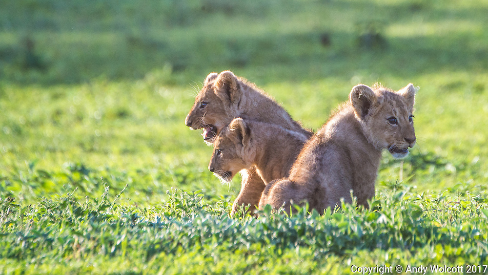 Lion cubs, Ngorongoro Crater
