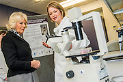 Her Royal Highness in the lab with researchers (here with Dr Kate Webb) and looking at specemins through a microscope. The Duchess of Cornwall, Patron, Arthritis Research UK, visits and meets patients of the Adolescent Inpatient Unit at University College London Hospitals.  •Her Royal Highness then tours a laboratory at the Arthritis Research UK Centre for Adolescent Rheumatology and meeting researchers and supporters. London 12 Feb 2015.