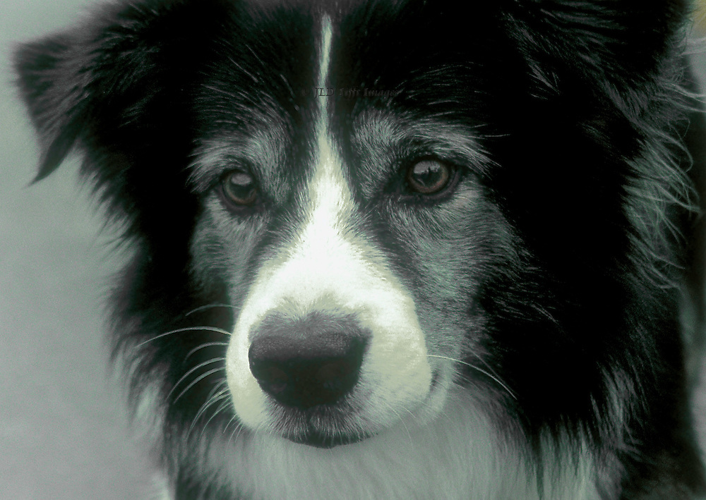 Portrait head of a black and white border collie looking intently after something.  Beautiful face, intense sincere eyes.