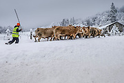 Cattle herd crossing snow covered area of Roncesvalles, Navarre, Spain