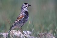 McCown's Longspur - Calcarius mccownii - breeding male