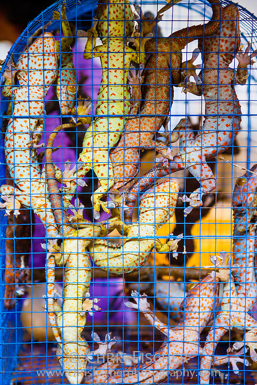Cage of colorful chameleons for sale at the Ngasem Bird Market in Yogyakarta, Central Java, Indonesia.