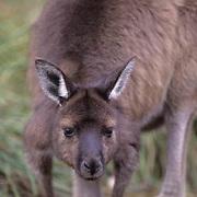 Western Gray Kangaroo, (Macropus fuliginosus) Kangaroo Island Australia.