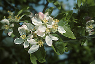 Cultivated Apple Malus domestica (Rosaceae) HEIGHT to 15m. A familiar orchard tree producing copious quantities of edible fruits. BARK Usually brown and fissured. BRANCHES Tangled unless pruned. The twigs are downy. LEAVES Up to 13cm long, elliptical and rounded at the base with a slightly pointed tip and toothed margin. They are slightly downy on the upper surface and normally very downy on the lower surface. REPRODUCTIVE PARTS Flowers are white or tinged with pink and, in some varieties, produced abundantly in short-stalked clusters. The fruits are normally larger than 5cm in diameter and indented at the pedicel. A great variety of shapes, sizes, tastes and colours exist. STATUS AND DISTRIBUTION Almost al¬ways found in cultivation in orchards and gardens across much of Britain and Ireland. Occasionally naturalized, or found in isolated places where human habitation once occurred, or where apple cores, containing  seeds ('pips') have been discarded. Cultivated Apple is a hybrid species, probably between the wild Crab Apple M. sylvestris and M. dasyphylla, and possibly M. praecox.