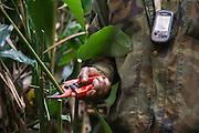 Clipping Marantaceae vegetation for gorilla trekking<br /> Lowland gorilla habitat<br /> Odzala - Kokoua National Park<br /> Republic of Congo (Congo - Brazzaville)<br /> AFRICA
