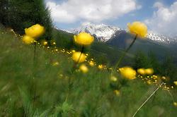 Mountain pasture at Großglockner Hochalpenstraße. High Tauern National Park, Austria. | Almwiese an der Großglockner Hochalpenstraße, Nationalpark Hohe Tauern, Österreich.