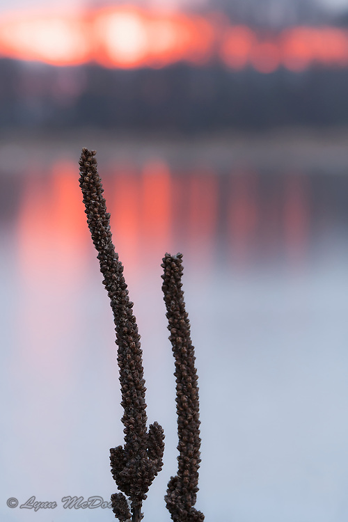 Beautiful colors of sunset create the background for these Mullein seed pods.  Bombay Hook NWR, Delaware