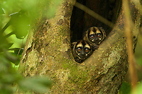 Night Monkeys (Aotus vociferans) in a tree cavity along a creek south of Napo Wildlife Center in Yasuni National Park, Orellana Province, Ecuador