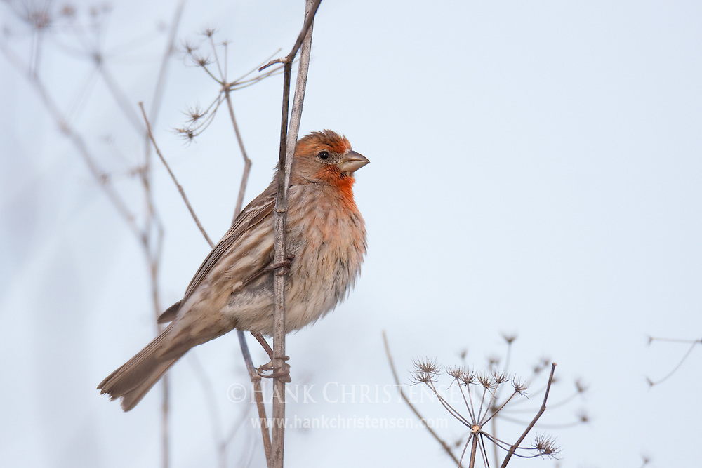 A house finch perches on wetland vegetation, looking from side to side
