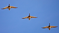 A trio of mallards flying high overhead in perfect formation...©2009, Sean Phillips.http://www.Sean-Phillips.com
