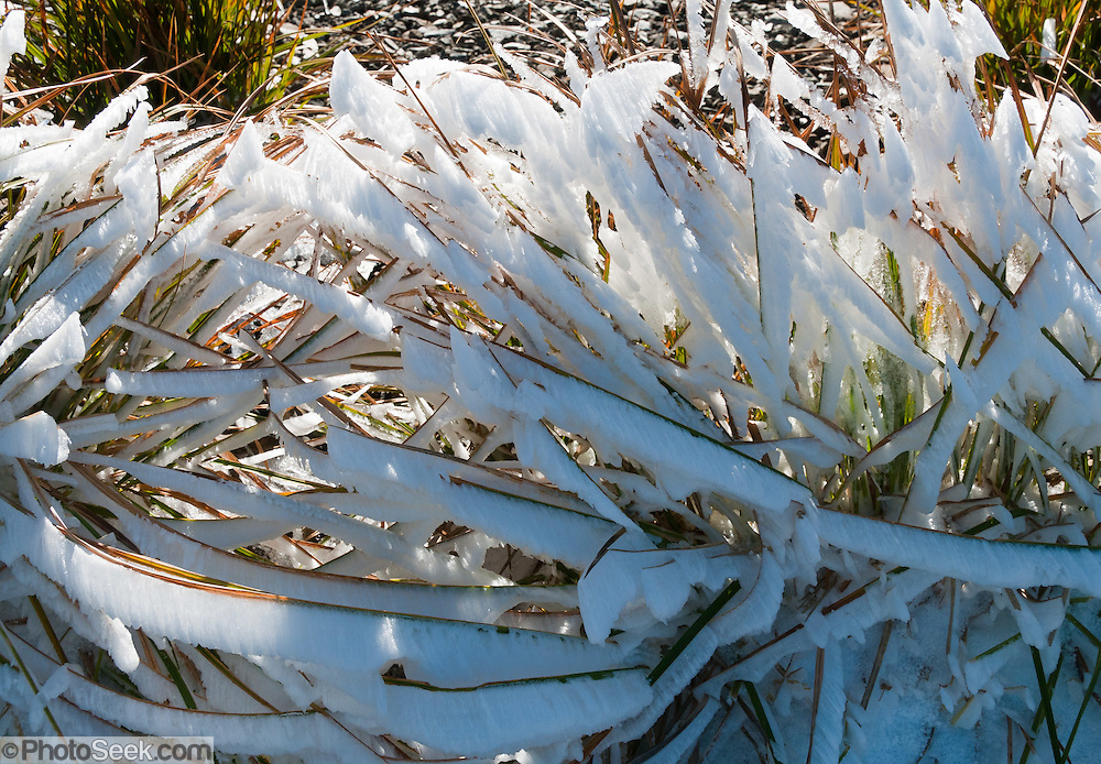 Wind coats grass blades with sheets of ice and rime on a frosty morning. Obstruction Point Road, Hurricane Ridge, Olympic National Park, Jefferson County, Washington, USA.
