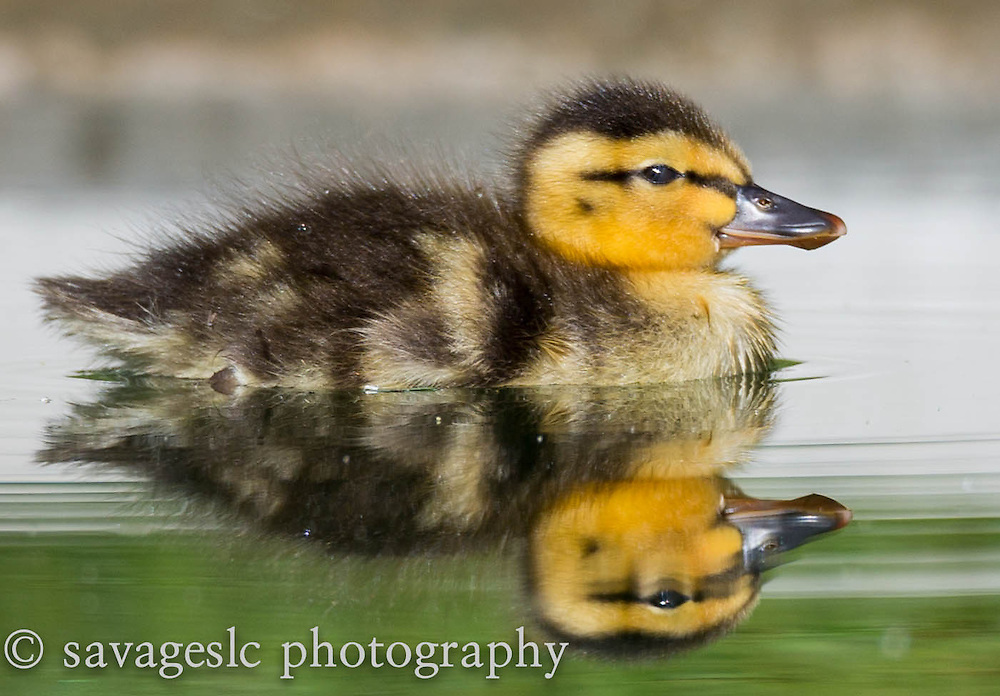 Mallard duckling reflection. Salt Lake Valley, Utah June 2013