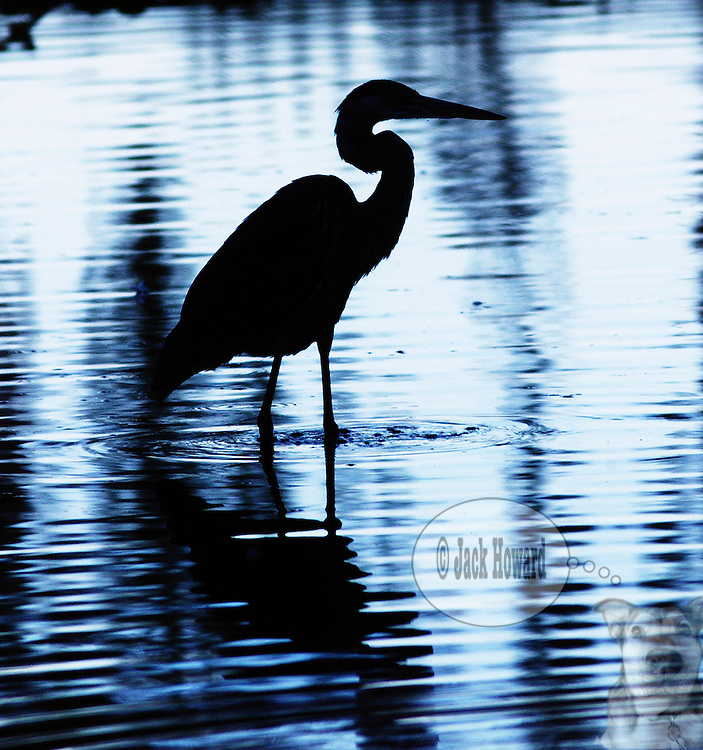 September 2002 - North Brunswick NJ - A Great Blue Heron, Ardea Herodias walks through the pond at Davidson's Mill Pond Park...JACK HOWARD PHOTOGRAPH