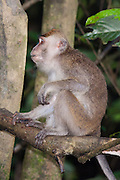 Side view of a Long-tailed or crab-eating Macaque (Macaca fascicularis) by Kinabatangan River, Sabah