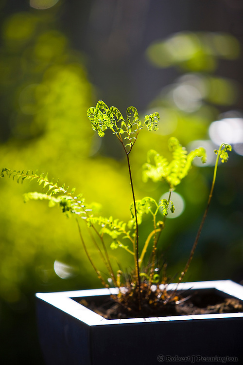 A young fern in a garden pot.