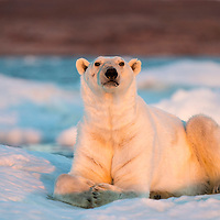 Canada, Nunavut Territory, Adult male Polar Bear (Ursus maritimus) resting on drifting pack ice near mouth of Wager Bay and Ukkusiksalik National Park