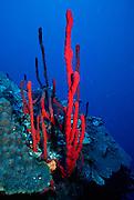 UNDERWATER MARINE LIFE CARIBBEAN, generic Red finger sponge Haliclona rubens