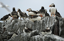 © Licensed to London News Pictures. 30/06/2016. Farne Islands, UK. Puffins sit on a cliff face in the Farne Islands, Northumberland. Between mid-April and late July the Farne Islands are home to over 100,000 pairs of breeding seabirds including puffins, kittiwakes, terns and cormorants.  Photo credit: Anna Gowthorpe/LNP
