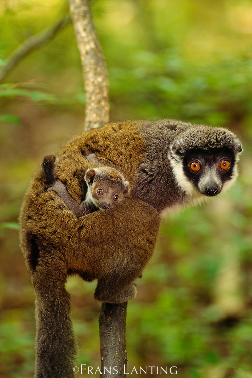 Eastern woolly lemur carrying young, Avahi laniger, Madagascar