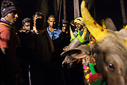 Throughout the night hundreds of bulls are brought to Palamadu to enter the Jallikattu contest the following day.