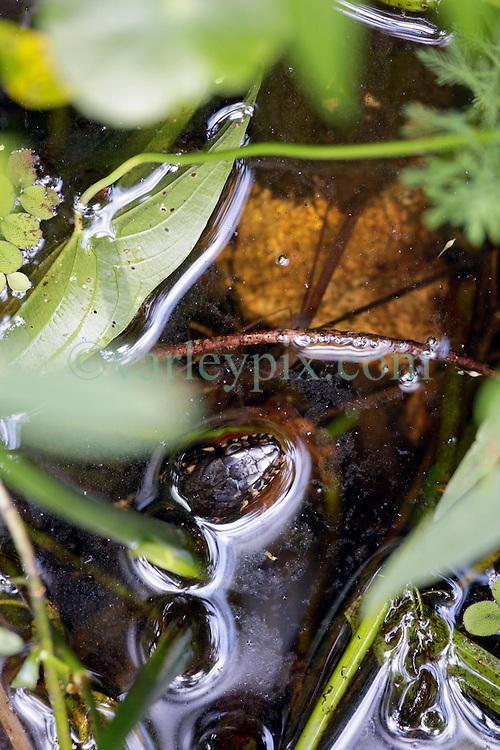 04 June 2015. Jean Lafitte National Historic Park, Louisiana.<br /> A yellow bellied water snake in the swamp at the Barataria Preserve wetlands south of New Orleans.<br /> Photo©; Charlie Varley/varleypix.com