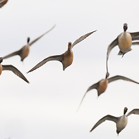 pintail ducks in flight turning overhead