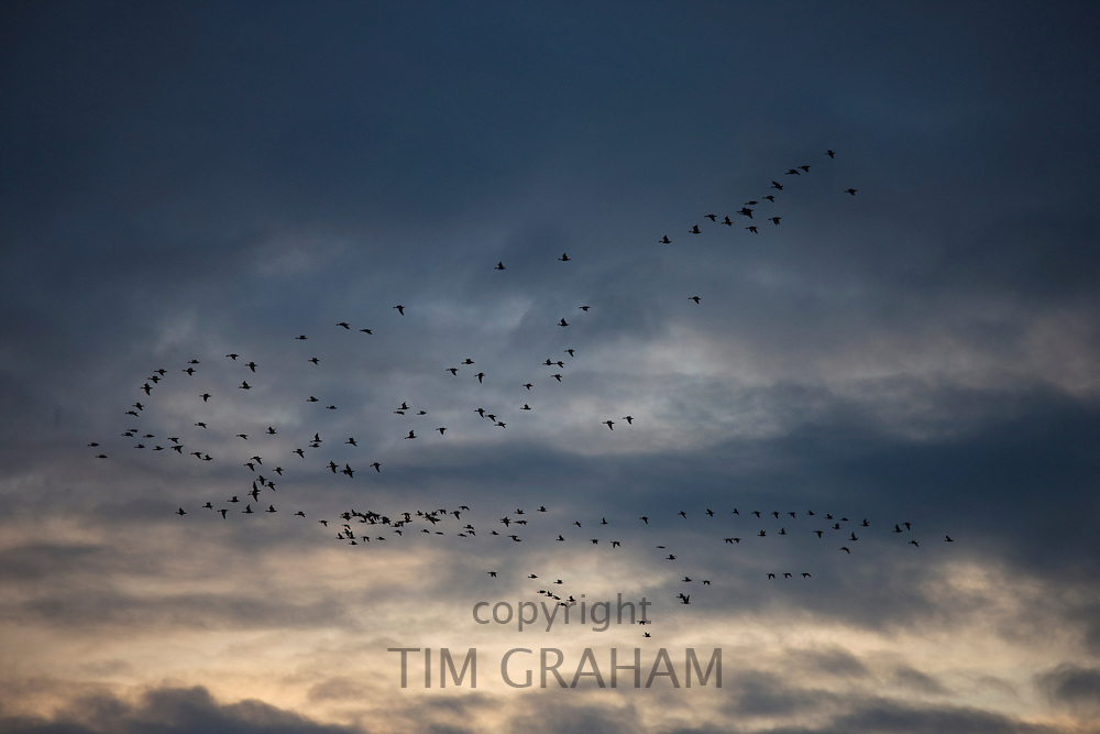 Pink-footed geese in the sky at sunset over Holkham, North Norfolk, UK