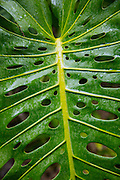 Monstera leaf, Olu Pua Gardens, Kalaheo, Kauai, Hawaii