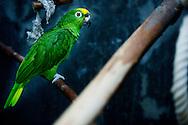 Amazonepapagaai en Agapornissen