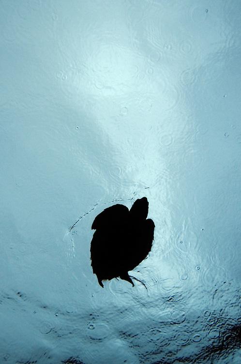 Loggerhead turtle, Caretta caretta, in the rain. Pico, Azores, Portugal