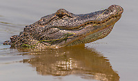 American Alligator, Alligator mississippiensis;<br />