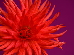 Close up of red dahlia