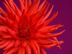 Close up of red dahlia