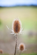 Teasel wildflower seed head in meadow, England