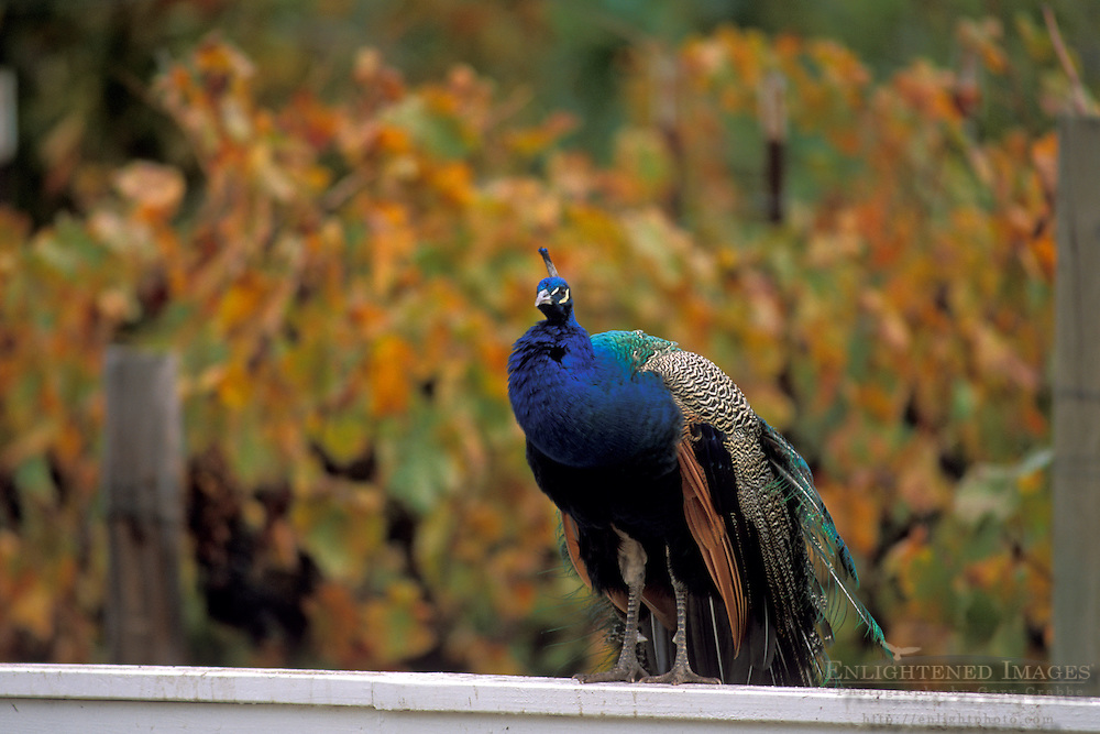 Peacock and vineyards at Kelsey See Canyon Vineyards San Luis Obispo County, California