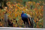 Peacock and vineyards at Kelsey See Canyon Vineyards San Luis Obispo County, California