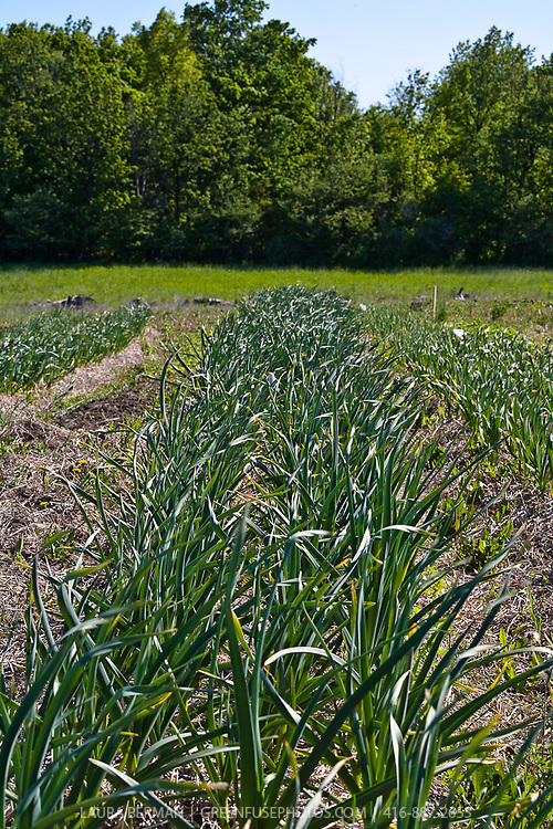 A double row of 'Music' garlic growing in the garden.