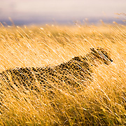 A male cheetah (Acinonyx jubatus) conceals himself in the grasses of Ngorngoro National Park, Tanzania.