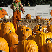 Scarecrow in pumpkin field