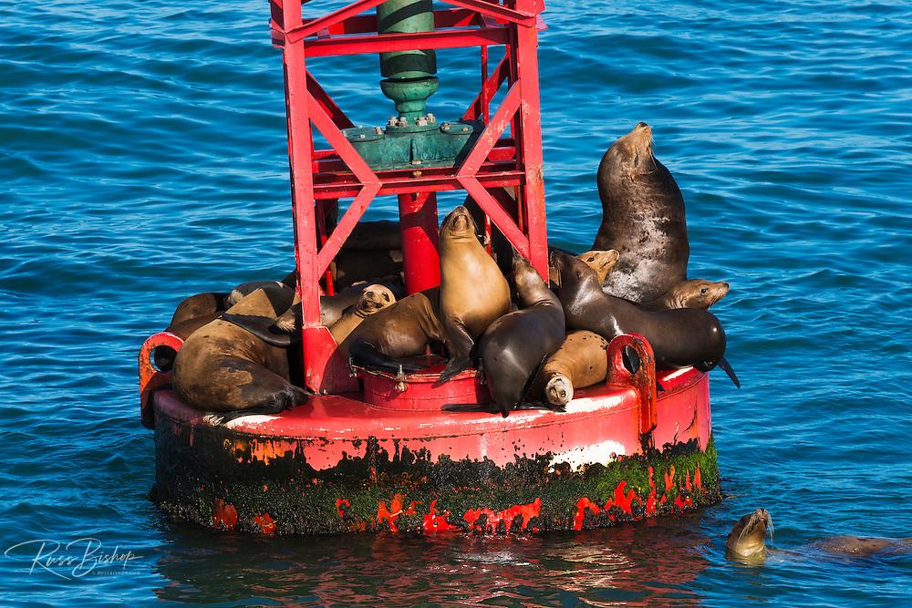 California sea lions on a harbor buoy, Ventura, California