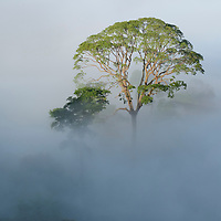 A lone emergent Tapang (Koompassia excelsa) tree towers above the mist-shrouded canopy of the Borneo rainforest to catch the morning sun. This is one of the tallest tropical tree species with recorded heights of over 85 meters. Sabah, Malaysia.