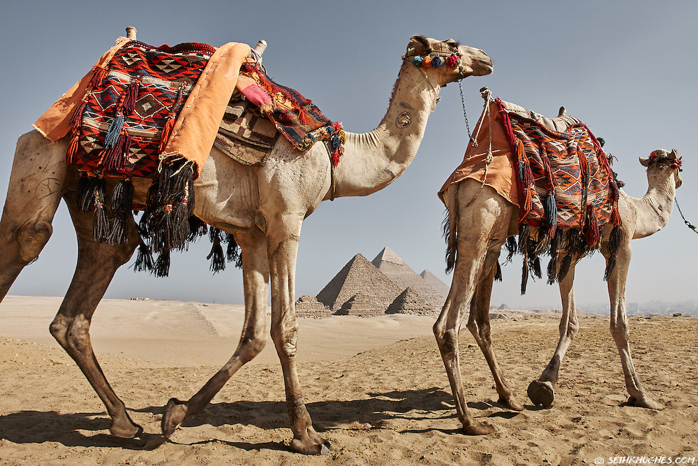Camels amble across the Giza Plateau in Egypt.