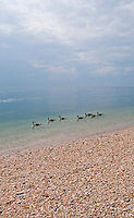 Long Island, New York - Canadian Geese swimming close to the shore at West Meadow.