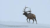 Elk | Deer