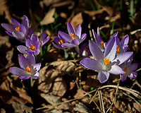Purple Crocus Flowers. Winter Backyard Nature in New Jersey. Image taken with a Leica CL camera and 60 mm f/2.8 lens (ISO 100, 60 mm, f/4, 1/2000 sec).