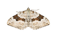 70.054 (1727)<br /> Silver-ground Carpet - Xanthorhoe montanata