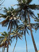 Sri Lanka, Ampara District, Arugam Bay, Pottuvil a small fishing village and popular surfing resort. Palm trees on the beach