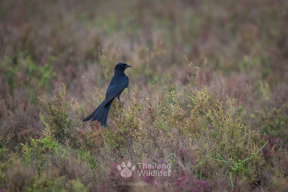 The black drongo (Dicrurus macrocercus) is a small Asian passerine bird of the drongo family Dicruridae.
